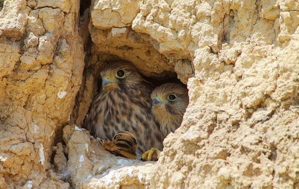 Пустельга-птица-Описание-особенности-виды-и-среда-обитания-пустельги-20