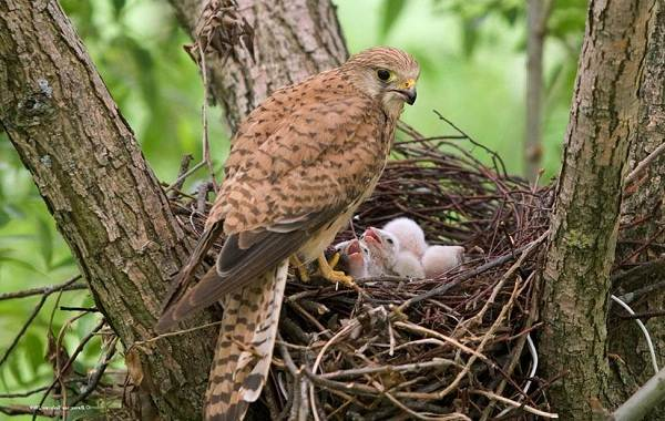 Пустельга-птица-Описание-особенности-виды-и-среда-обитания-пустельги-21