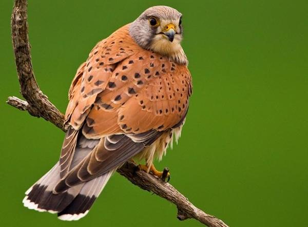 Пустельга-птица-Описание-особенности-виды-и-среда-обитания-пустельги-23