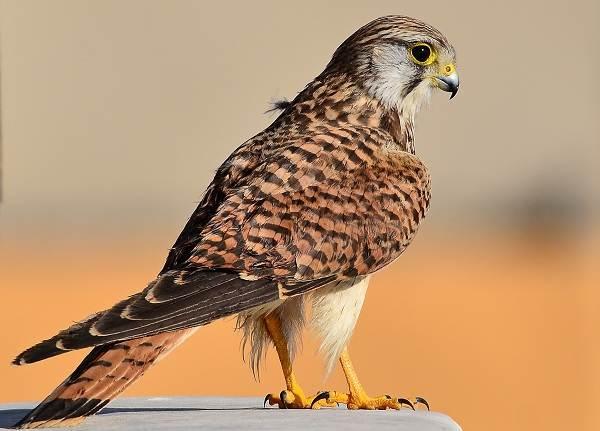 Пустельга-птица-Описание-особенности-виды-и-среда-обитания-пустельги-5