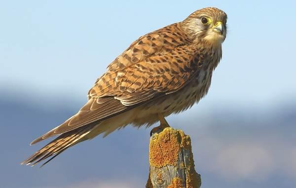 Пустельга-птица-Описание-особенности-виды-и-среда-обитания-пустельги-6