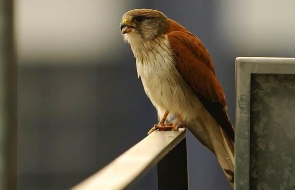 Пустельга-птица-Описание-особенности-виды-и-среда-обитания-пустельги-8