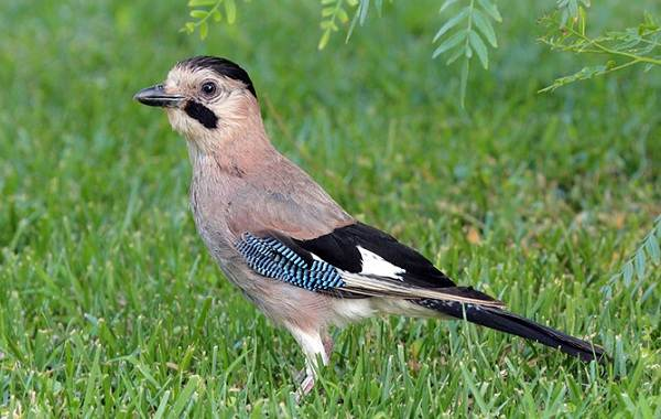 Сойка-птица-Описание-особенности-виды-и-среда-обитания-птицы-сойки-1