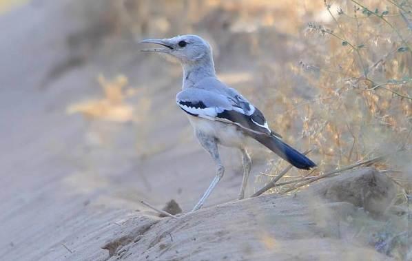 Сойка-птица-Описание-особенности-виды-и-среда-обитания-птицы-сойки-10