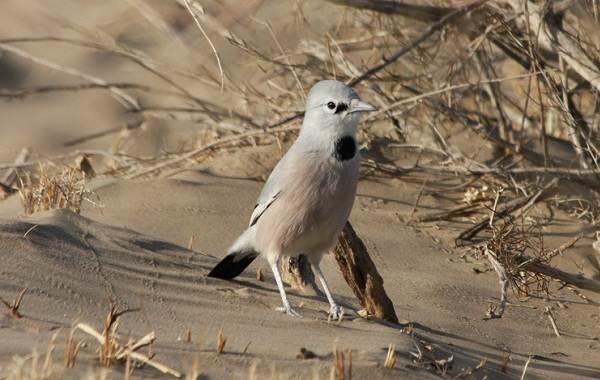 Сойка-птица-Описание-особенности-виды-и-среда-обитания-птицы-сойки-11