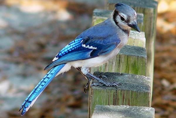 Сойка-птица-Описание-особенности-виды-и-среда-обитания-птицы-сойки-12
