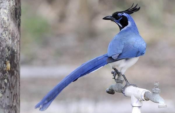 Сойка-птица-Описание-особенности-виды-и-среда-обитания-птицы-сойки-14