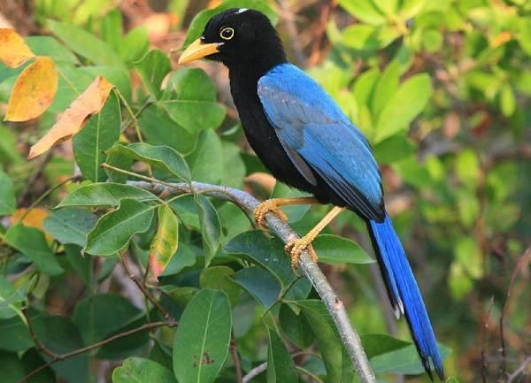 Сойка-птица-Описание-особенности-виды-и-среда-обитания-птицы-сойки-16