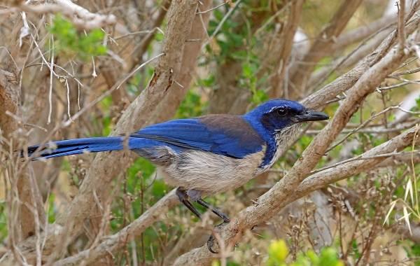 Сойка-птица-Описание-особенности-виды-и-среда-обитания-птицы-сойки-17
