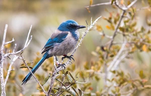 Сойка-птица-Описание-особенности-виды-и-среда-обитания-птицы-сойки-18