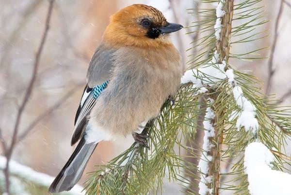 Сойка-птица-Описание-особенности-виды-и-среда-обитания-птицы-сойки-2