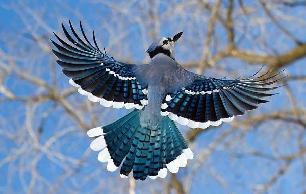 Сойка-птица-Описание-особенности-виды-и-среда-обитания-птицы-сойки-20