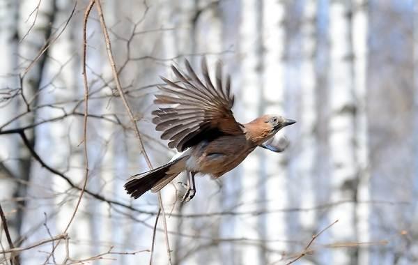 Сойка-птица-Описание-особенности-виды-и-среда-обитания-птицы-сойки-21