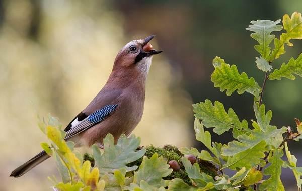 Сойка-птица-Описание-особенности-виды-и-среда-обитания-птицы-сойки-22