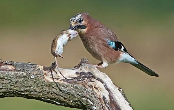 Сойка-птица-Описание-особенности-виды-и-среда-обитания-птицы-сойки-24