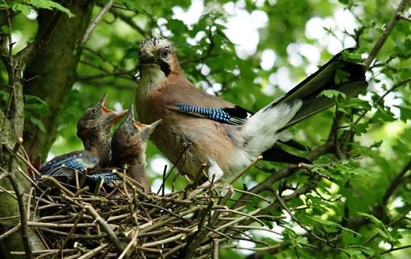 Сойка-птица-Описание-особенности-виды-и-среда-обитания-птицы-сойки-25