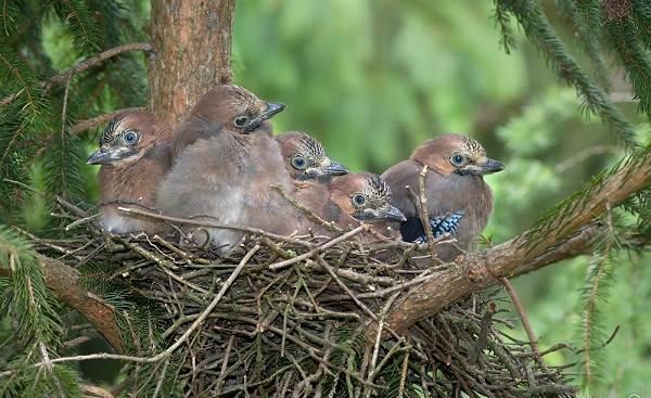 Сойка-птица-Описание-особенности-виды-и-среда-обитания-птицы-сойки-26