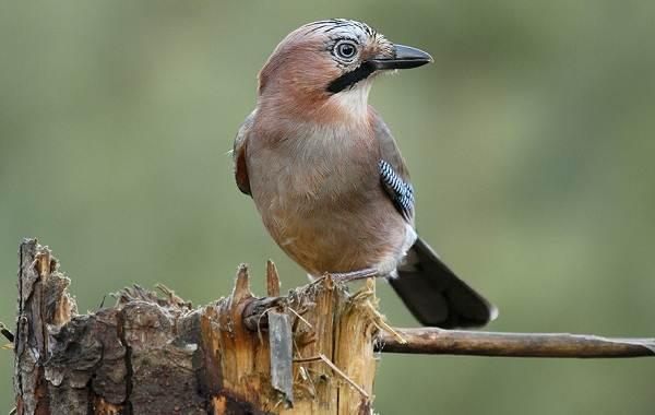 Сойка-птица-Описание-особенности-виды-и-среда-обитания-птицы-сойки-3