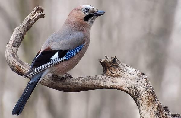 Сойка-птица-Описание-особенности-виды-и-среда-обитания-птицы-сойки-4