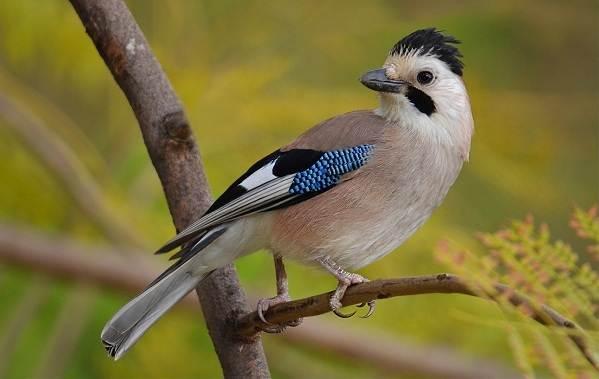 Сойка-птица-Описание-особенности-виды-и-среда-обитания-птицы-сойки-5