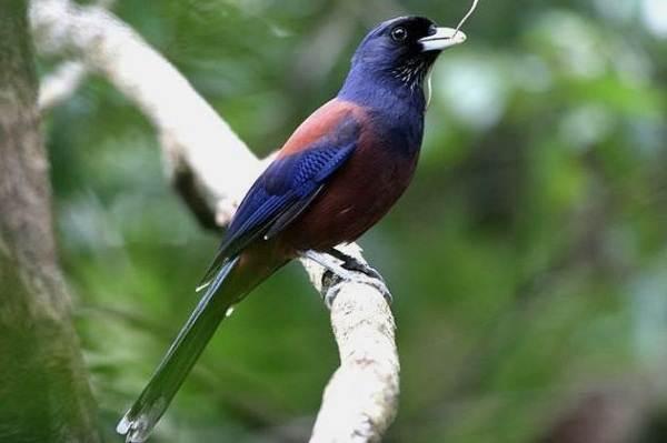 Сойка-птица-Описание-особенности-виды-и-среда-обитания-птицы-сойки-6