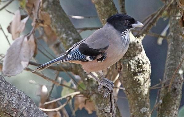 Сойка-птица-Описание-особенности-виды-и-среда-обитания-птицы-сойки-7