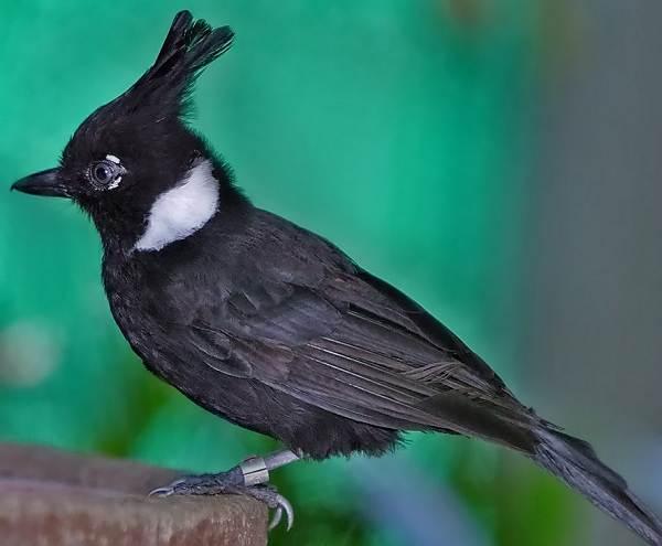 Сойка-птица-Описание-особенности-виды-и-среда-обитания-птицы-сойки-9
