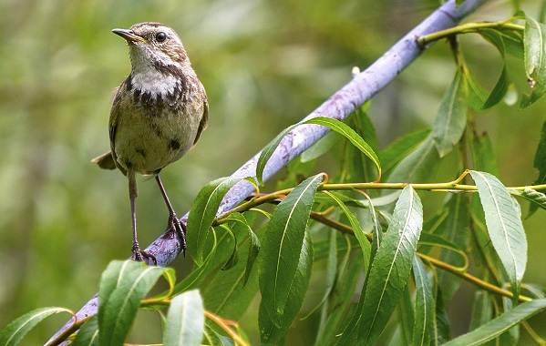 Варакушка-птица-Описание-особенности-образ-жизни-и-среда-обитания-варакушки-10