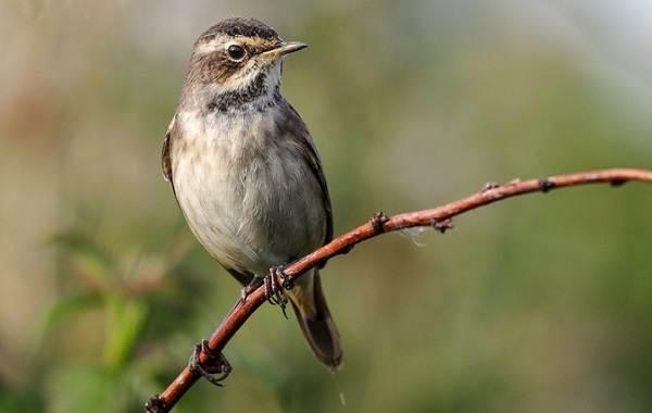 Варакушка-птица-Описание-особенности-образ-жизни-и-среда-обитания-варакушки-11
