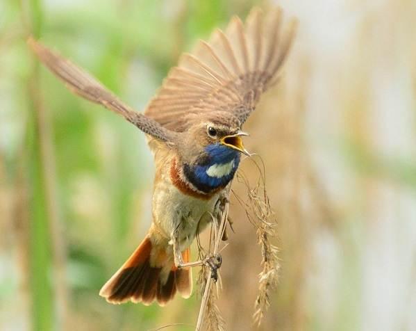 Варакушка-птица-Описание-особенности-образ-жизни-и-среда-обитания-варакушки-12