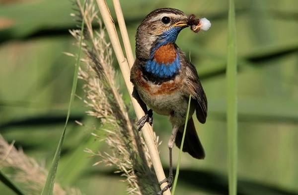 Варакушка-птица-Описание-особенности-образ-жизни-и-среда-обитания-варакушки-13