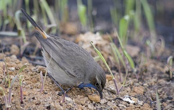 Варакушка-птица-Описание-особенности-образ-жизни-и-среда-обитания-варакушки-14