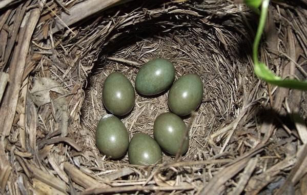 Варакушка-птица-Описание-особенности-образ-жизни-и-среда-обитания-варакушки-15