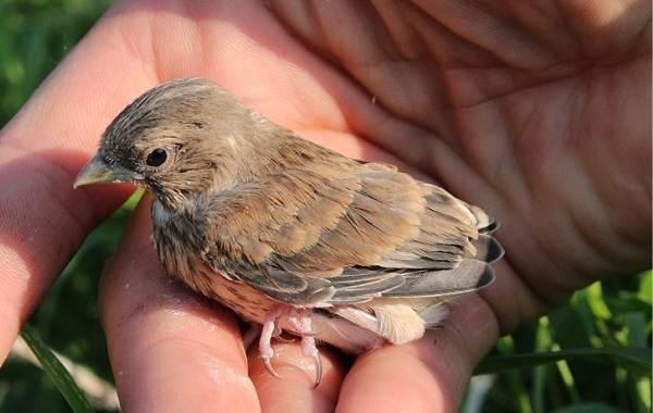 Варакушка-птица-Описание-особенности-образ-жизни-и-среда-обитания-варакушки-17