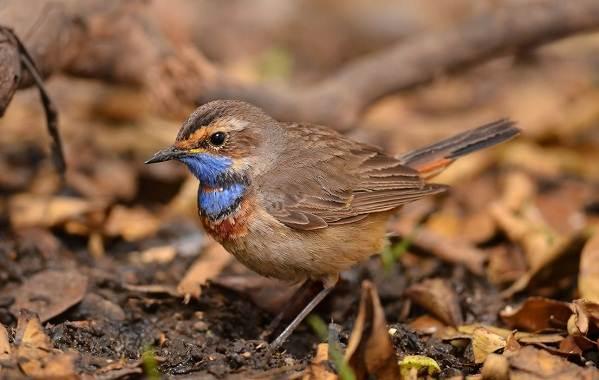 Варакушка-птица-Описание-особенности-образ-жизни-и-среда-обитания-варакушки-2