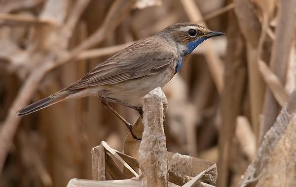Варакушка-птица-Описание-особенности-образ-жизни-и-среда-обитания-варакушки-3