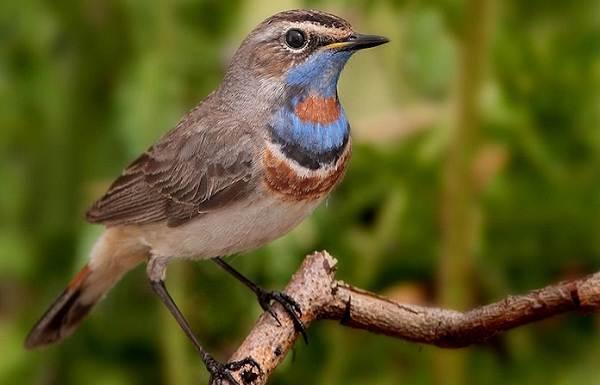 Варакушка-птица-Описание-особенности-образ-жизни-и-среда-обитания-варакушки-4