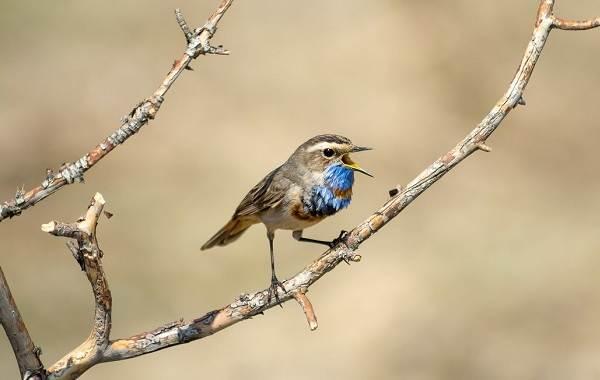 Варакушка-птица-Описание-особенности-образ-жизни-и-среда-обитания-варакушки-5
