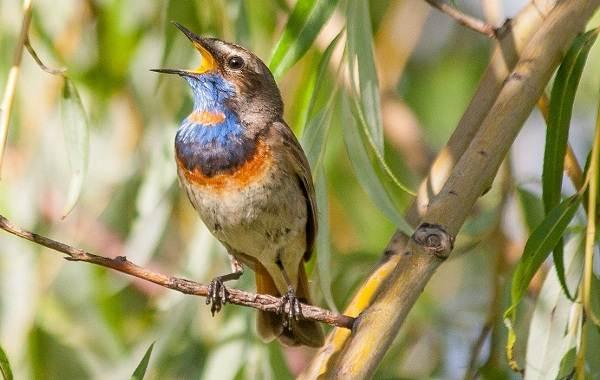 Варакушка-птица-Описание-особенности-образ-жизни-и-среда-обитания-варакушки-6
