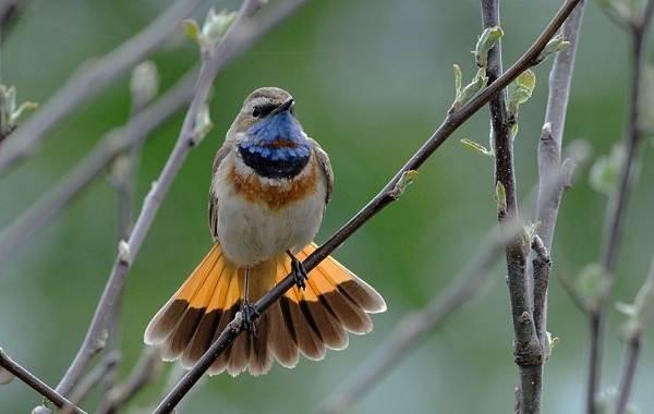 Варакушка-птица-Описание-особенности-образ-жизни-и-среда-обитания-варакушки-7