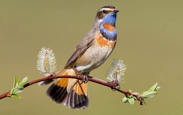 Варакушка-птица-Описание-особенности-образ-жизни-и-среда-обитания-варакушки-9