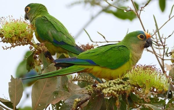 Виды-попугаев-Описания-названия-и-особенности-видов-попугаев-14