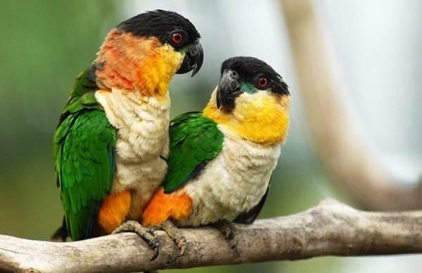 Виды-попугаев-Описания-названия-и-особенности-видов-попугаев-15