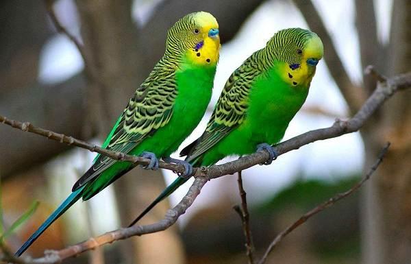Виды-попугаев-Описания-названия-и-особенности-видов-попугаев-19