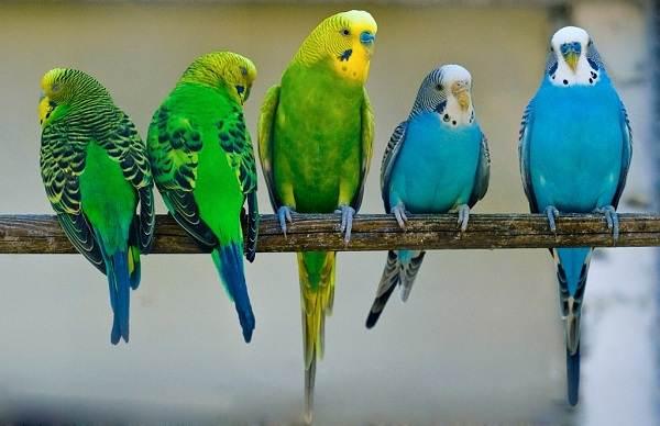 Виды-попугаев-Описания-названия-и-особенности-видов-попугаев-20
