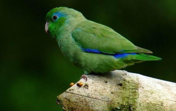 Виды-попугаев-Описания-названия-и-особенности-видов-попугаев-21