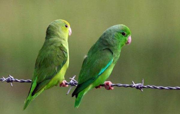 Виды-попугаев-Описания-названия-и-особенности-видов-попугаев-23
