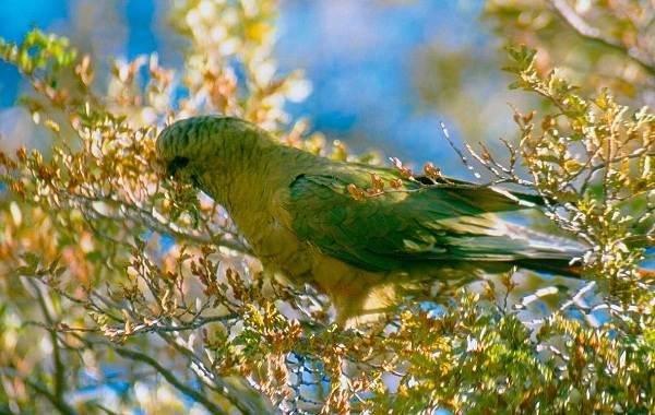 Виды-попугаев-Описания-названия-и-особенности-видов-попугаев-25