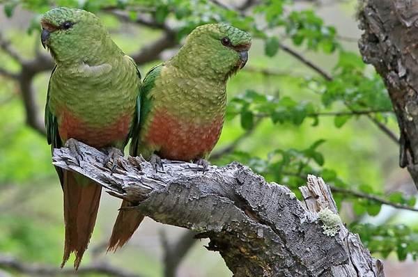 Виды-попугаев-Описания-названия-и-особенности-видов-попугаев-26