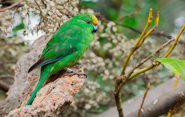 Виды-попугаев-Описания-названия-и-особенности-видов-попугаев-33